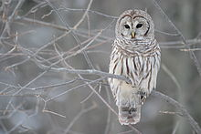 picture of a barred owl with link to wikipedia